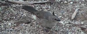 Chiming Wedgebill