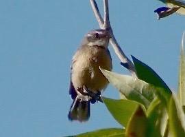 Mangrove Grey Fantail