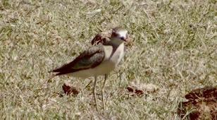 Oriental Plover