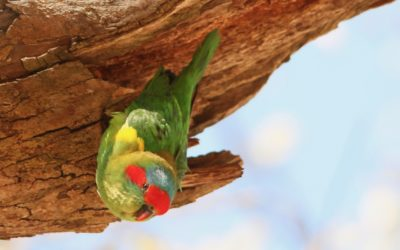 Swift Parrot and Black Falcon in October