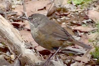 Tasmanian Scrubwren
