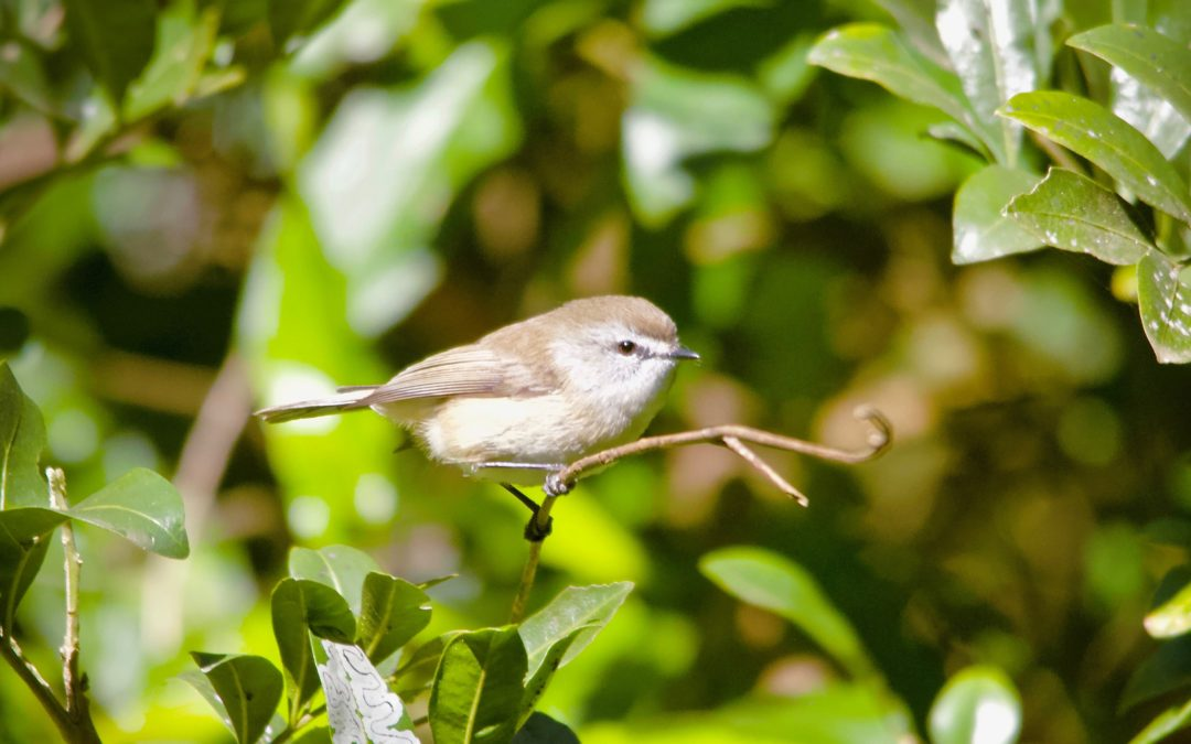 Brown Gerygone Finally Ticked