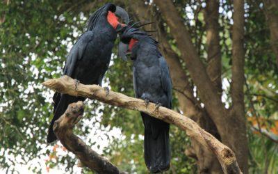 Aussie Birds In Bali