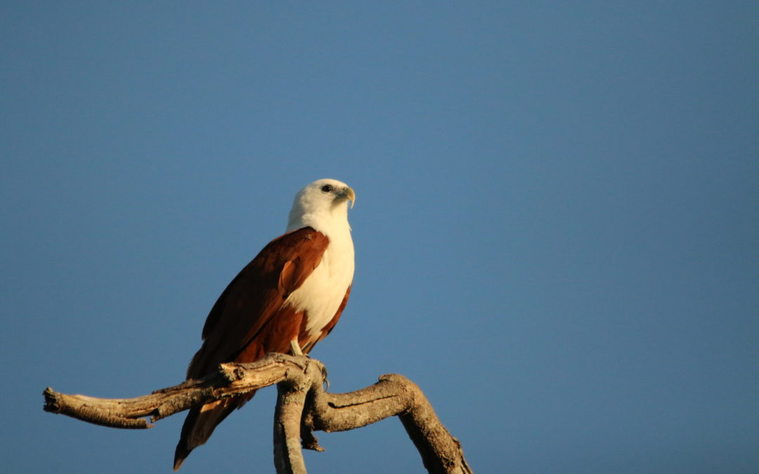 Brahminy Kite - Gone Birding