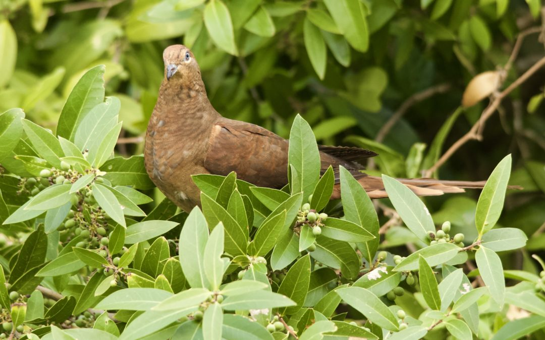 Brown Cuckoo-Dove Gone Birding